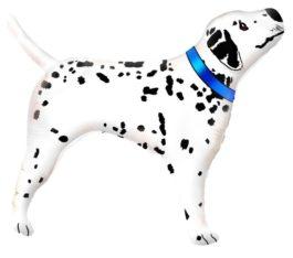 Dalmatiner mit blau Halsband